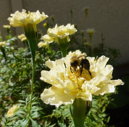 Bumble Bee on 'Ivory' Marigold