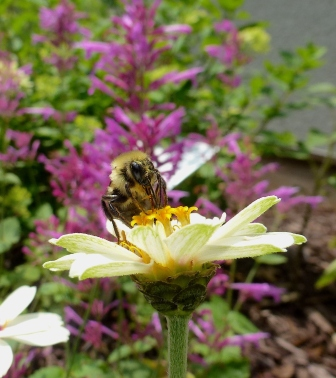 Bumble Bee on Z. Zahara Starlight Rose