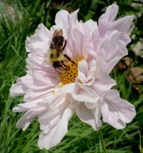 Bumble Bee on 'Double Click' Cosmos