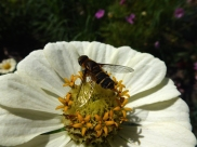 Bee Fly on Z. Zahara Starlight Rose