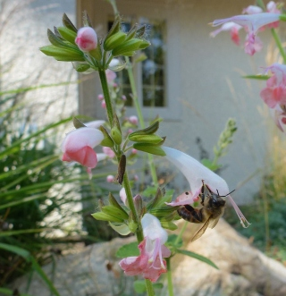 Honeybee on S. 'Summer Jewel Pink'