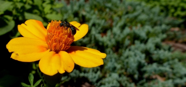 Native Bee on 'Bambino' Marigold