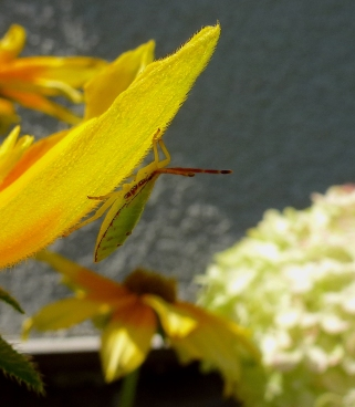 Stink Bug on R. Prairie Sun